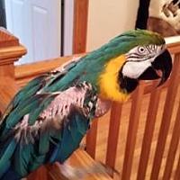 Macaw for adoption in Blairstown, New Jersey - Amiga