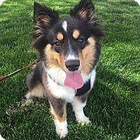 Adopt A Pet :: Iris - Chicago, IL