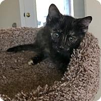 Domestic Shorthair Kitten for adoption in Scottsdale, Arizona - Gingerbread