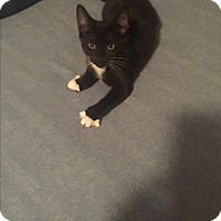 Domestic Shorthair Kitten for adoption in Virginia Beach, Virginia - Midnight