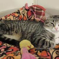 Adopt A Pet :: Tofu - Westville, IN