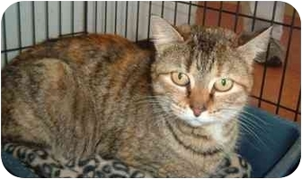 Domestic Shorthair Cat for adoption in Troy, Ohio - Buttercup