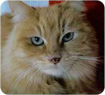 Domestic Longhair Cat for adoption in Brea, California - Dyna
