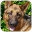 Photo 2 - German Shepherd Dog Dog for adoption in Los Angeles, California - Heinz von Herzig