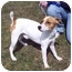 Photo 4 - Jack Russell Terrier Mix Dog for adoption in Bloomsburg, Pennsylvania - JT