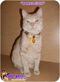Domestic Shorthair Cat for adoption in Cedar Creek, Texas - Barcleigh