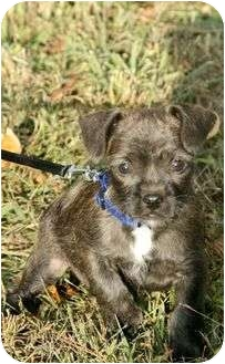 Boston Terrier Mix Puppy for adoption in Portland, Maine - Ace (IN NEW ENGLAND)