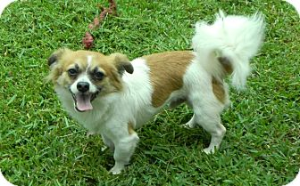 Papillon/Chihuahua Mix Dog for adoption in Metairie, Louisiana - Monty