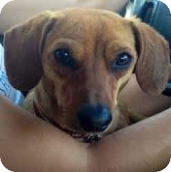 Dachshund Mix Dog for adoption in Encino, California - Ernie