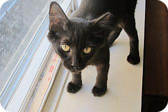Domestic Shorthair Kitten for adoption in Chicago, Illinois - Inkblot