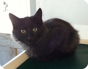 Domestic Shorthair Kitten for adoption in Greensburg, Pennsylvania - Nash