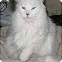 Adopt A Pet :: Snowbell - Cincinnati, OH
