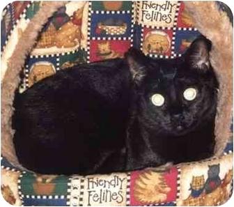 Domestic Shorthair Cat for adoption in El Segundo, California - MoneyPenny