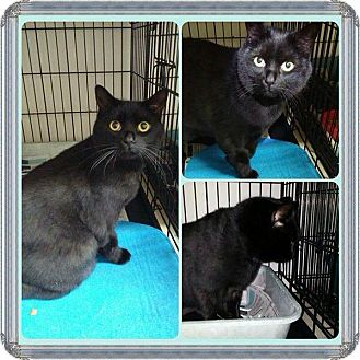 Domestic Shorthair Cat for adoption in THORNHILL, Ontario - DISCO