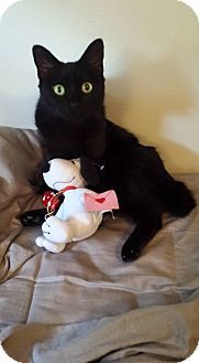 Domestic Mediumhair Cat for adoption in Tampa, Florida - Bella - Cuddly Kitty