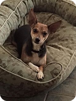 Miniature Pinscher/Beagle Mix Dog for adoption in Allentown, Pennsylvania - Kailani