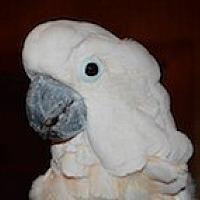 Cockatoo for adoption in Asheville, North Carolina - Jasmine