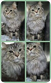 Maine Coon Cat for adoption in THORNHILL, Ontario - Catrick Swayze