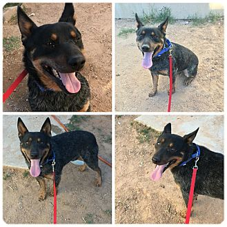 Australian Cattle Dog Dog for adoption in Phoenix, Arizona - Cheney
