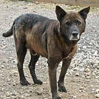 Chow Chow/Labrador Retriever Mix Dog for adoption in Hankamer, Texas - Merlin