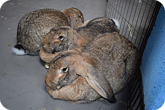 Flemish Giant Mix for adoption in Montclair, California - Lenny, Lola & Lambsy