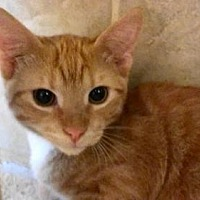 Domestic Shorthair Cat for adoption in Tyler, Texas - AA-Corban