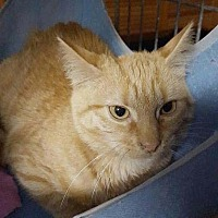 American Shorthair Cat for adoption in New York, New York - Pippa