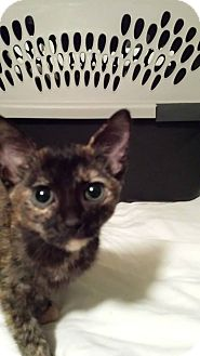 Domestic Shorthair Cat for adoption in Clarkson, Kentucky - Myrtle