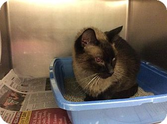 Siamese Cat for adoption in Janesville, Wisconsin - Alfred