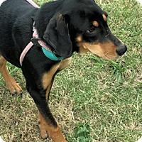 Adopt A Pet :: Rolls - Dallas, TX