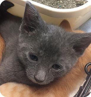 Domestic Shorthair Kitten for adoption in Hendersonville, North Carolina - Elf
