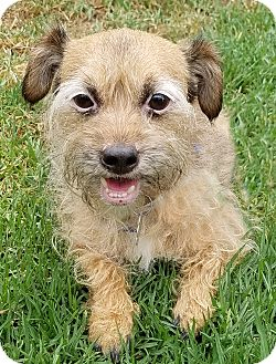 Cairn Terrier/Terrier (Unknown Type, Medium) Mix Dog for adoption in Los Angeles, California - Ginger