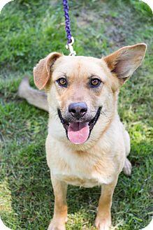 Labrador Retriever/Shepherd (Unknown Type) Mix Dog for adoption in Florence, Kentucky - Nikki