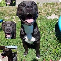 Pit Bull Terrier Dog for adoption in Henderson, Kentucky - Letty