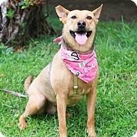 Adopt A Pet :: Lily - San Mateo, CA