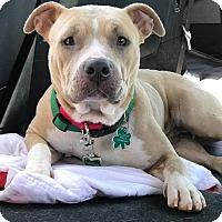 Adopt A Pet :: Lolly - Alpharetta, GA