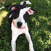 Adopt A Pet :: Lindy - St Louis, MO