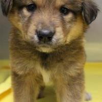 Adopt A Pet :: Ami - Lampasas, TX