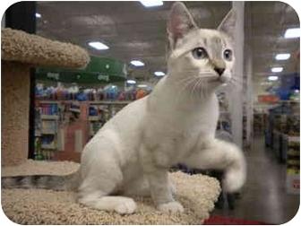Siamese Kitten for adoption in San Diego, California - Juneau