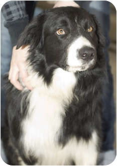 Border Collie Mix Dog for adoption in Tangent, Oregon - Murphy