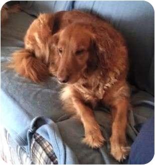 Golden Retriever/Chesapeake Bay Retriever Mix Dog for adoption in Lincolnton, North Carolina - Sabrina