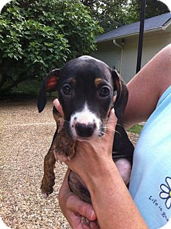 Boxer/Mountain Cur Mix Puppy for adoption in Cranford, New Jersey - Lorie