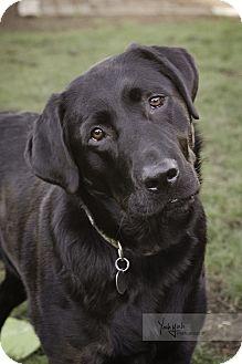 Labrador Retriever Dog for adoption in Portland, Oregon - Donny (foster)