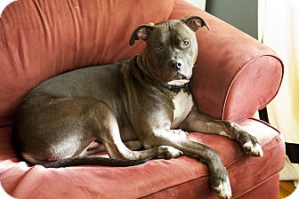American Pit Bull Terrier/Mastiff Mix Dog for adoption in Durham, New Hampshire - HUCKLEBERRY the Magnificent!