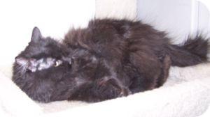 Persian Cat for adoption in Colorado Springs, Colorado - Cathy