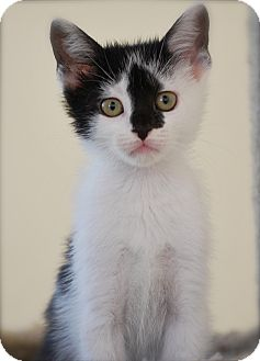 Domestic Shorthair Kitten for adoption in Trevose, Pennsylvania - Waffle