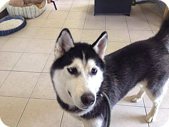 Siberian Husky Mix Dog for adoption in Zanesville, Ohio - Emmy