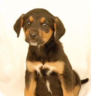 Hound (Unknown Type)/German Shepherd Dog Mix Puppy for adoption in Newland, North Carolina - Aurra
