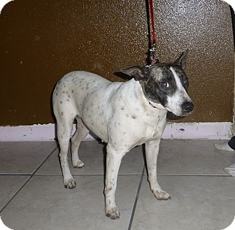 Bull Terrier/Cattle Dog Mix Dog for adoption in Oviedo, Florida - Daphi