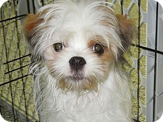 Chinese Crested/Japanese Chin Mix Puppy for adoption in Washington, Pennsylvania - Aiko